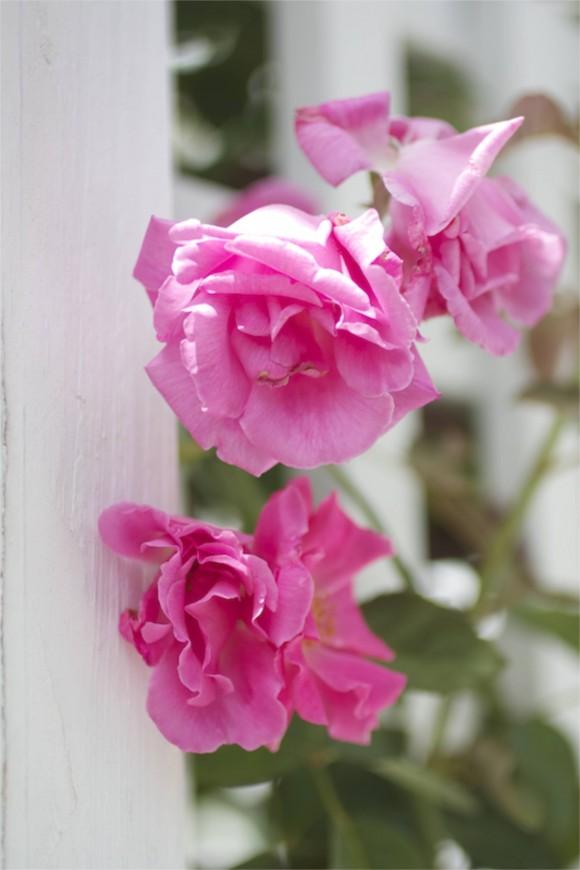 climbing rose uncanoonuc mt perennials by rochelle greayer www.pithandvigor.com