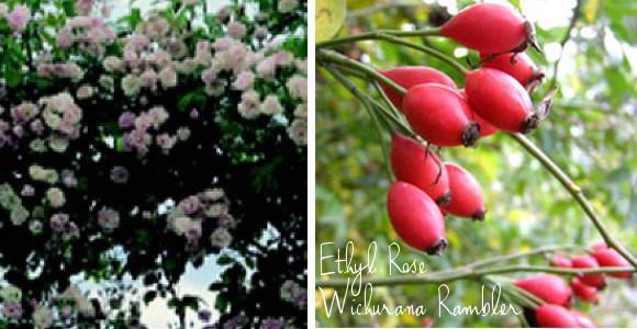 Ethyl Rose Wichurana Rose with hips via www.pithandvigor.com