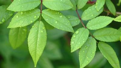 Green Leaves Wallpapers | PixelsTalk.Net