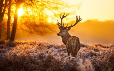 Free Download Deer Backgrounds   PixelsTalk.Net
