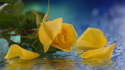 Yellow Rose Backgrounds | PixelsTalk.Net
