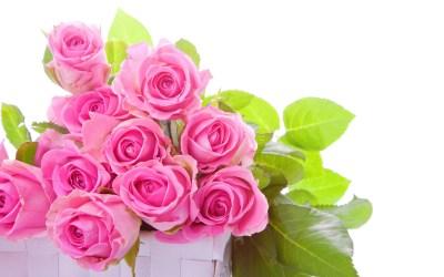 Pink Rose Pictures download free | PixelsTalk.Net