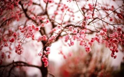 Cherry Blossom Wallpaper HD   PixelsTalk.Net