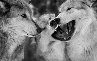 Wolf Wallpapers Free Download | PixelsTalk.Net