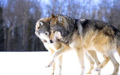 Wolf HD Desktop Wallpapers | PixelsTalk.Net