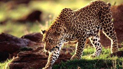 Leopard Wallpapers HD | PixelsTalk.Net