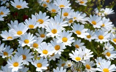 Daisy Wallpaper High Quality | PixelsTalk.Net