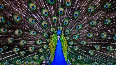 Peacock Wallpapers HD | PixelsTalk.Net