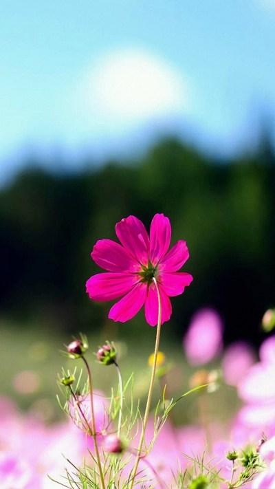 Flower iPhone Backgrounds | PixelsTalk.Net