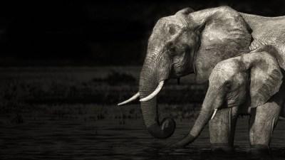 Desktop Elephant HD Wallpapers   PixelsTalk.Net