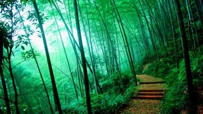 Bamboo Forest HD Wallpaper | PixelsTalk.Net
