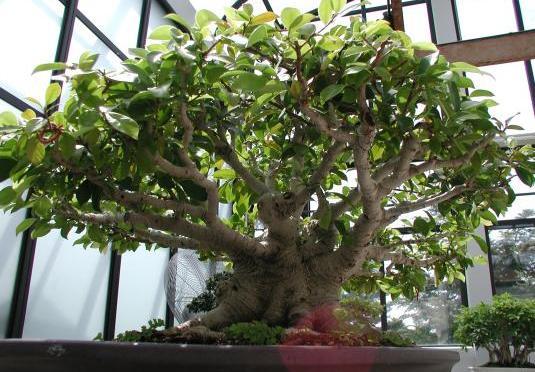 Árbol Bonsai tropical