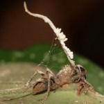 Zombie-ant-fungus