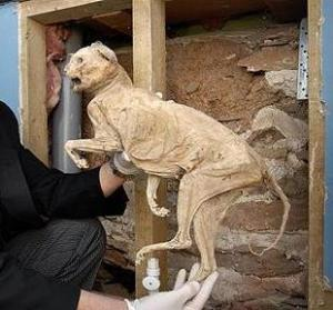 "-...PIC: apexnewspix.com 22/04/2009. No more nine lives - Richard Parson from Devon with a 400yr old mummified cat that was discovered hidden inside his ancient cottage at Ugborough by builders during a renovation. Local legend has it that the mummified moggy was placed in the walls of the house to ward off witches, four centuries ago. Mr Parson said it had done a good job so far and said, ""I am of the opinion that it works as since we have lived in the village, we have seen sight nor sound of any witches."" The new family pet has caused quite a stir amongst locals with neighbours telling tales of superstition and witchcraft! Mr Parson is pictured in his bathrooom next the location in the wall where the cat was discovered. ** SEE STORY BY APEX NEWS - 01392 823144 **"