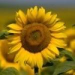 Flores beneficiosas para la salud. 6 Remedios naturales con flores