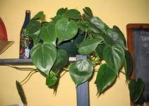 Filodendro trepador (Philodendron scandens) 2