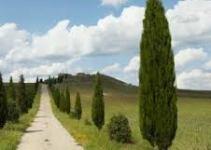 El Ciprés (Cupressus sempervirens): un árbol cultivado desde la antigüedad  4