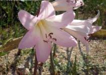 "Azucena rosa ó Belladonna (""Amaryllis belladonna"") 5"