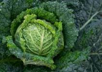 Brassica oleracea italica(Brécol) 3