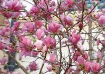 "Árbol lirio o Magnolio Chino (""Magnolia x soulangeana"") 1"