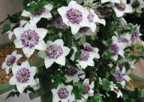 Clematis, Clemátide (Clematis spp) 1