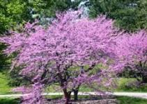 """Cercis, árbol de Judas (""""Cercis siliquastrum"""") 5"""
