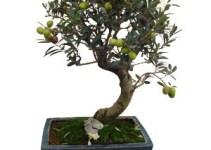 Comprar bonsáis online
