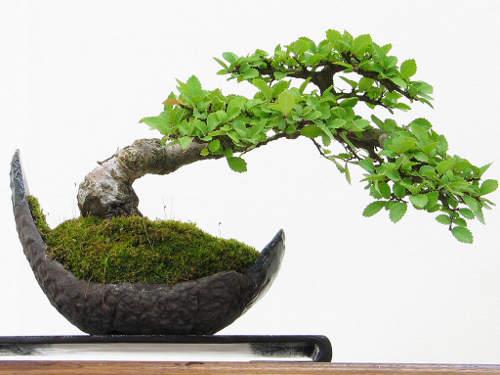 Hacer de una planta un bonsái