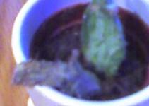 Cactus helados