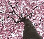 Hanami-tree