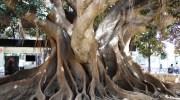 Los ficus gigantes de Alicante