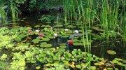 Tipos de plantas acuáticas