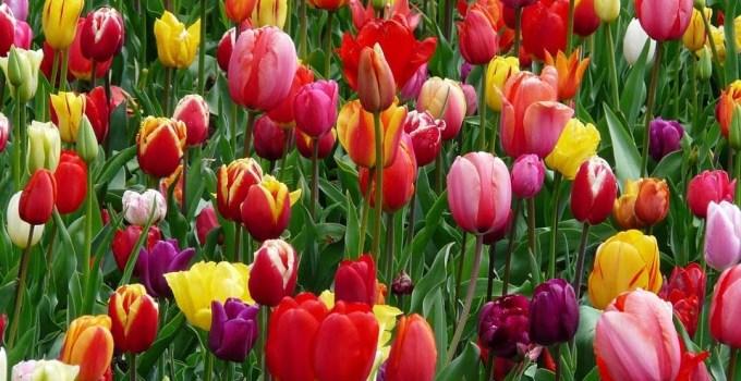 como-plantar-tulipanes