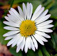 The common daisy, Bellis perennis