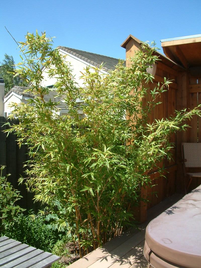 Large Of Golden Goddess Bamboo