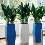 Cast Iron Plant in Blue and White Planters