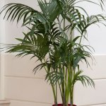 Cat Palm in Red Container