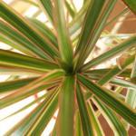 Dracaena marginata foliage