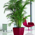 Majesty Palm in Lechuza Quadro Scarlett