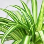 Spider Plant foliage