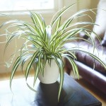 Spider Plant in Lechuza White