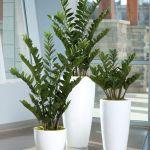 ZZ Plant in Lechuza Classico White