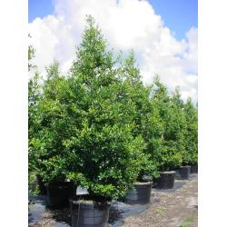 Small Crop Of East Palatka Holly