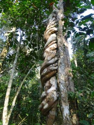 Un arbre qui étouffe les autres arbres !