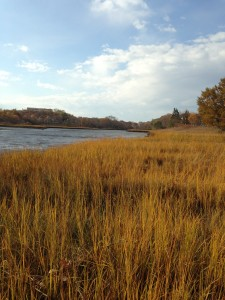 Pickman Marsh, Salem, MA. Spartina Alterniflora going to seed.