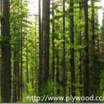 Species List Of Evergreen Trees