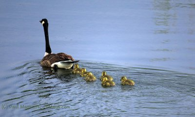 mother-ducklings