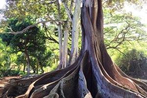 Tree from Jurassic Park Movie Kauai