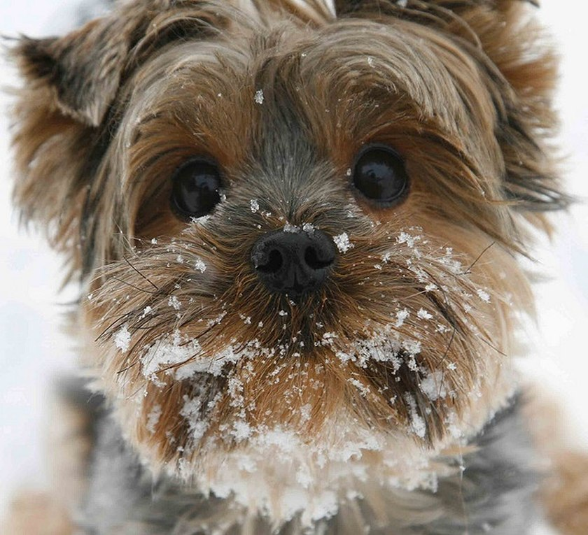 cute little dog snow covered face