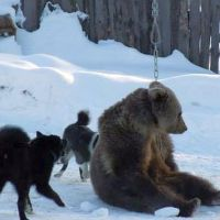 Royal Canin admits sponsoring barbaric bear-baiting events